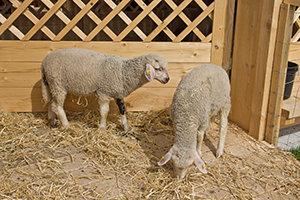 Schafe an der Hirtenhütte Quelle: Eckhard Moldenhauer